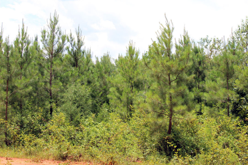 loblolly-pine-stand-5-to-6-years-old-in-VA