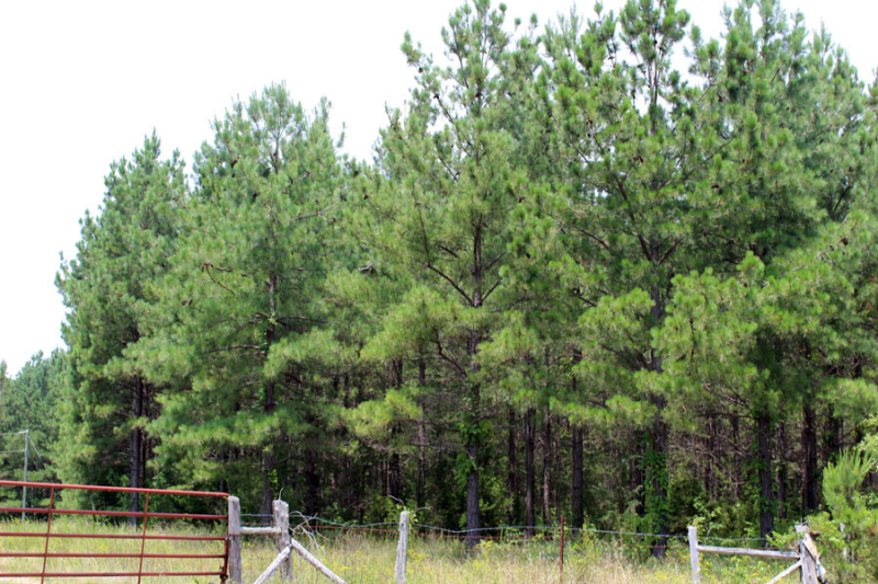 loblolly-pine-stand-in-need-of-thinning-in-VA-app-18-years-old
