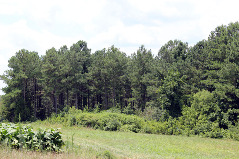 loblolly-stand-needs-2nd-thinning-in-VA