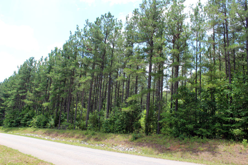 loblolly-stand-thinned-4-years-ago-in-VA