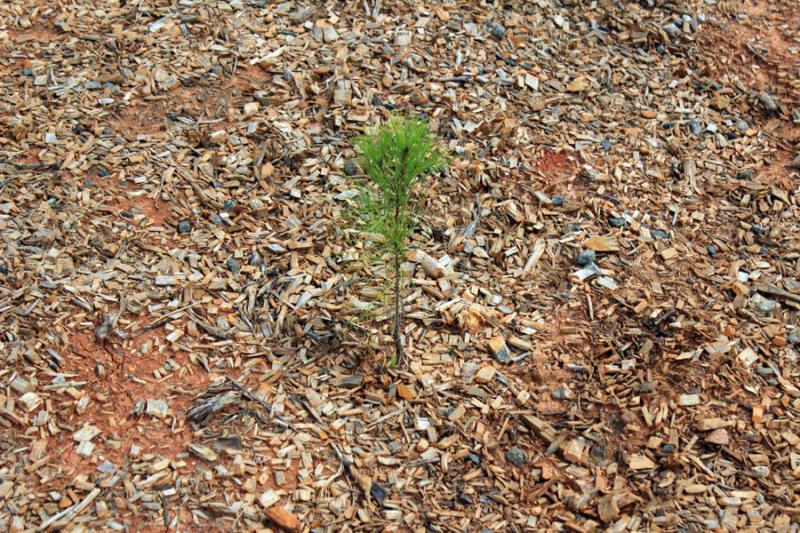 pine-seedling-2