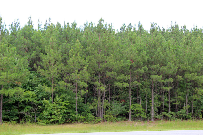 va-loblolly-stand-needs-1st-thinning
